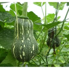Hạt giống bí hạt đậu Phú Nông PN-389 2g