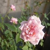 Cây giống hoa hồng điều cổ– giống hoa hồng truyền thống quý hiếm của việt nam