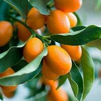 Cây quất ngọt, cây quất ngọt thái lan nhập khẩu cam kết chất lượng