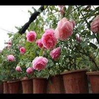 COMBO 10 CÂY GIỐNG Hoa hồng điều CỔ– giống hoa hồng truyền thống quý hiếm của Việt Nam