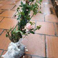 Combo 11 cây giống hoa hồng ngoại