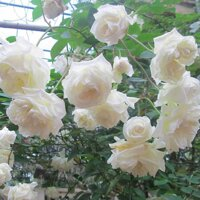 Combo 2 cây giống hoa hồng cổ trắng bạch xếp-giống hồng cổ trắng đẹp và sai hoa