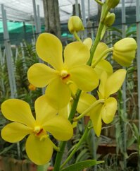 Lan mokara giống 1 thân đơn màu vàng