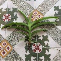 Lan mokara giống - màu đỏ loại 2