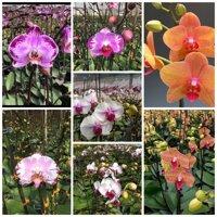 [Rẻ Vô Địch] Hoa lan Hồ Điệp Cây Giống