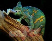 veiled chameleon – tắc kè hoa đổi màu